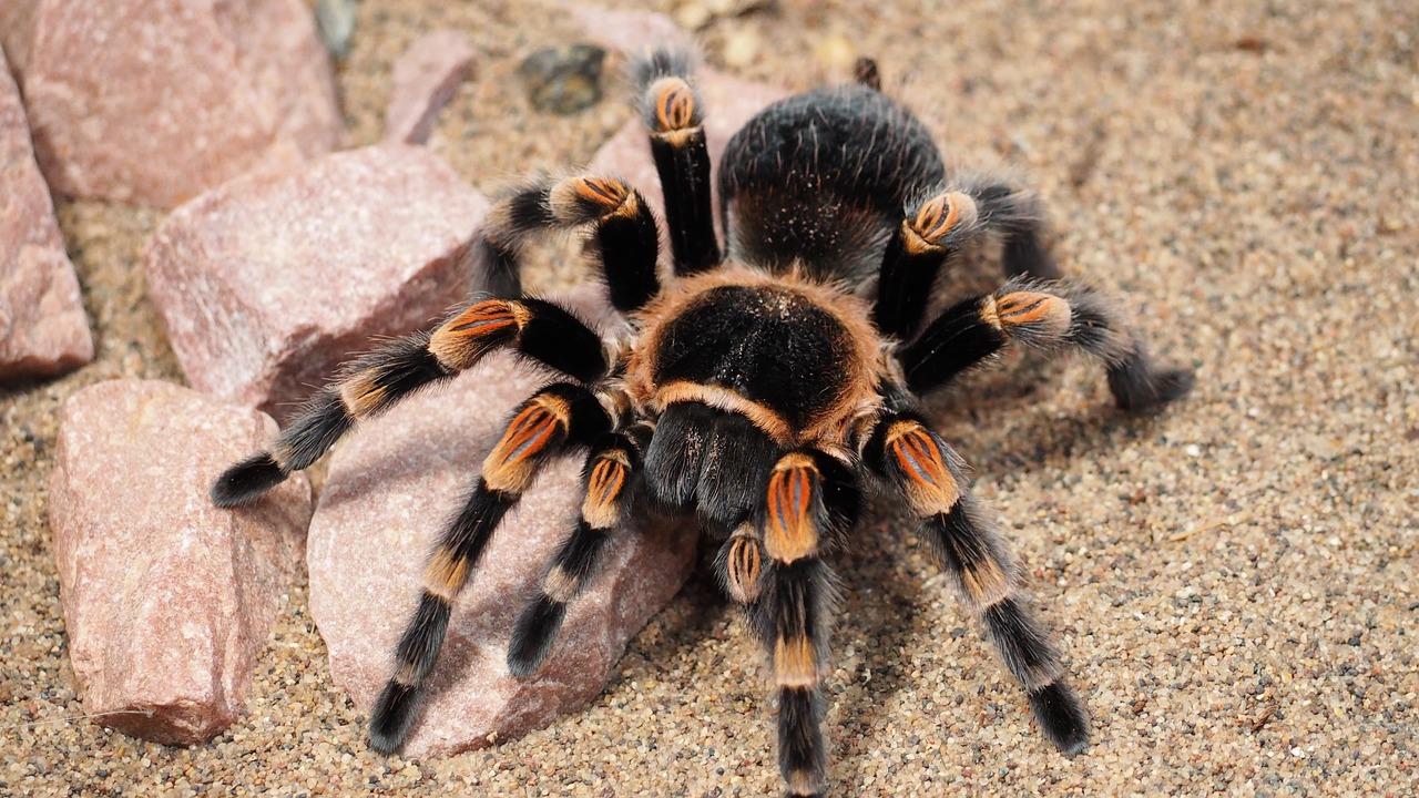 Tarantula spider animal hairy
